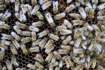 Пчеломатки Карпатской породы и Карника на 2016 год, в г.Самара