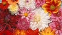 Семена цветочных культур, в г.Полоцк