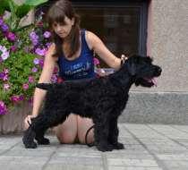 высокопородный щенок русского черного терьера, в Оренбурге
