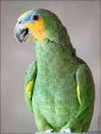 попугай Венесуэльский Амазон, в Москве