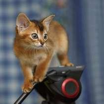 Абиссинские котята, в Екатеринбурге