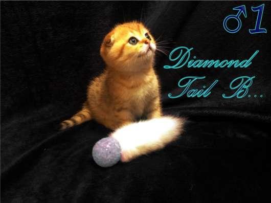 Шотландские вислоухие котята золотого окраса в г. Севастополь Фото 4