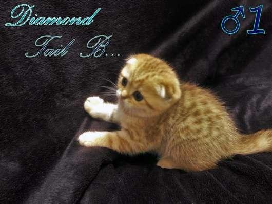 Шотландские вислоухие котята золотого окраса в г. Севастополь Фото 3