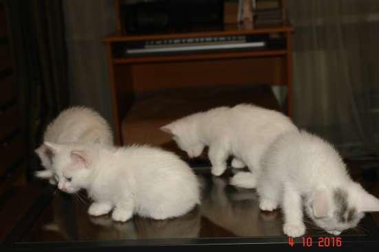 Котята ангоры в Добрые руки