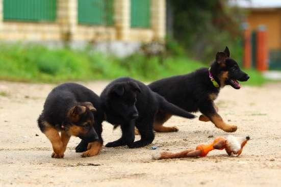 Щеночки немецкой овчарки чёрные и чепрачные в Дубне Фото 5