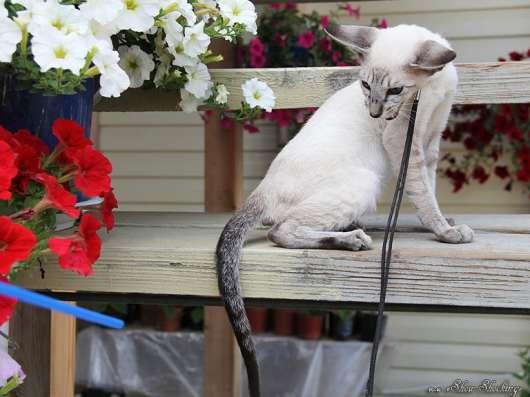 Ориентальные котята, белого, черного и пятнистого окраса в г. Самара Фото 3