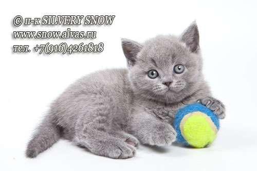 Британские плюшевые голубые котята с Москвы. Доставка Фото 1
