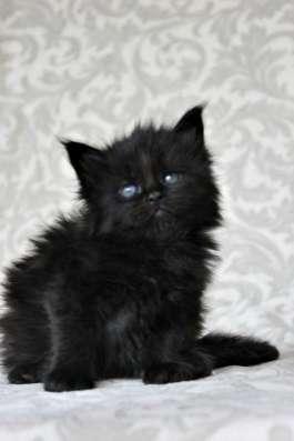 Элитные котята Мейн Кун! в Москве Фото 2