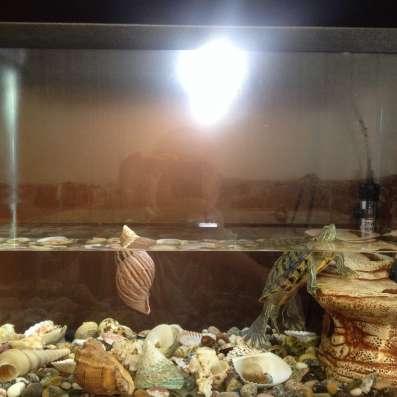 Аквариум, размер 50х25х40, с ракушками и краснаухой черепахо в Владикавказе Фото 1