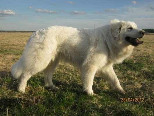Продаются щенки пиренейский горной собаки