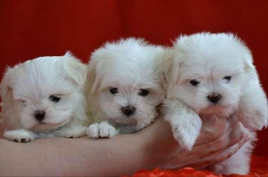 Красивые щенки мальтезе