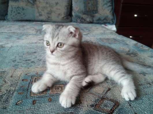 Клубный шотландский котенок в Одинцово Фото 6