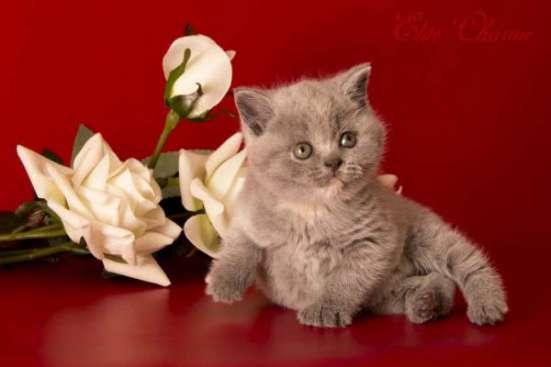 "Британские котята из питомника ""Elite Charme"" в Екатеринбурге Фото 5"