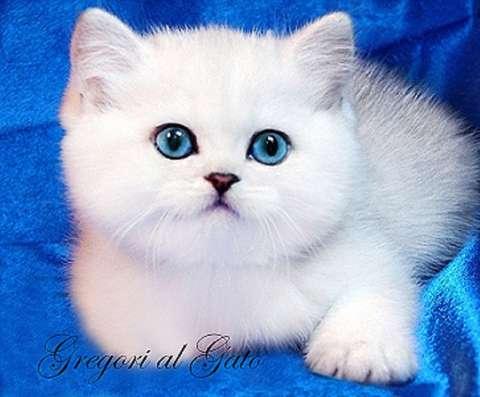 Элитные котята серебристые британские шиншиллы шоу класс