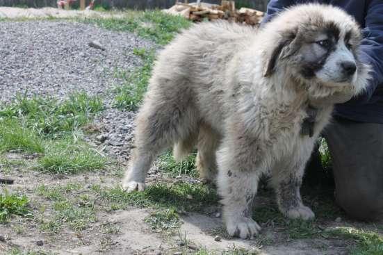 Продаются подрощенные щенки кавказской овчарки в г. Васильков Фото 2