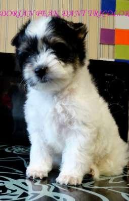 Предлагаются к резервированию щенки Бивер Йоркширского терье