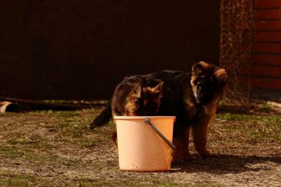 Немецкой овчарки длинношерстные щенки в Москве Фото 1