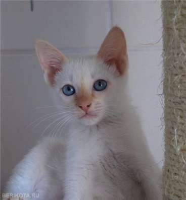 Тайский котенок редкого окраса РЕД-ПОИНТ в Волгограде Фото 4