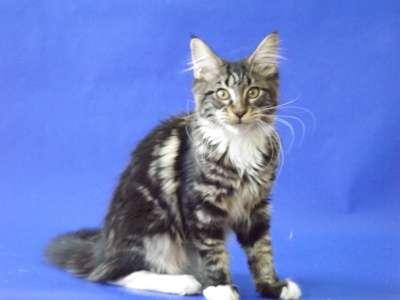 Котята мейн-кун из питомника в Пятигорске Фото 3