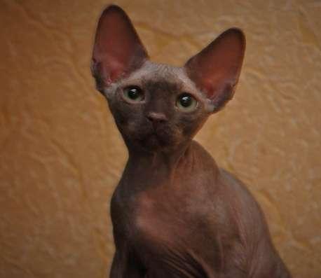 Котята Девон Рекс в редких окрасах: шоколад, корица, лиловый в Москве Фото 5