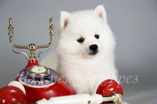 Продаю белоснежных щенков шпица