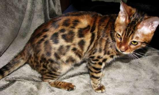 Бенгальские котята Питомник бенгальских кошек sunnybunny в г. Кобрин Фото 2