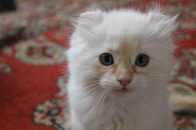 Котята Американский кёрл! в Смоленске Фото 3