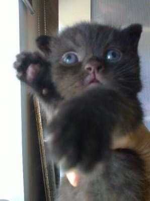 Голубоглазые котята редкого окраса