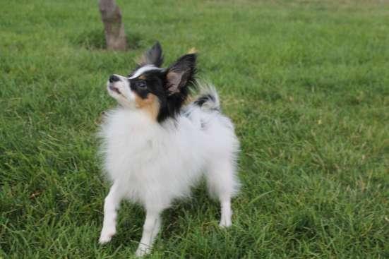 Продам щенка папильона