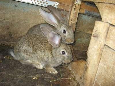 кролики мясной породы в Омске Фото 4