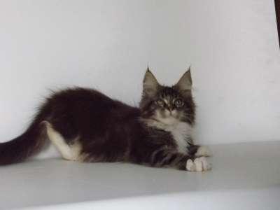 Котята породы мейн-кун в г. Элиста Фото 1