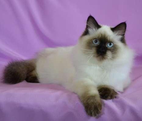 Невский маскарадный кот для выставок