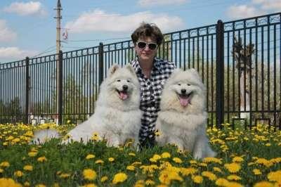 Самоед щенки в Иркутске Фото 1