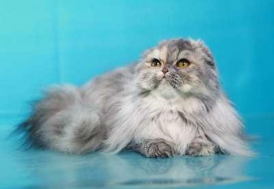 Кошечка - хайленд фолд в Хабаровске Фото 3