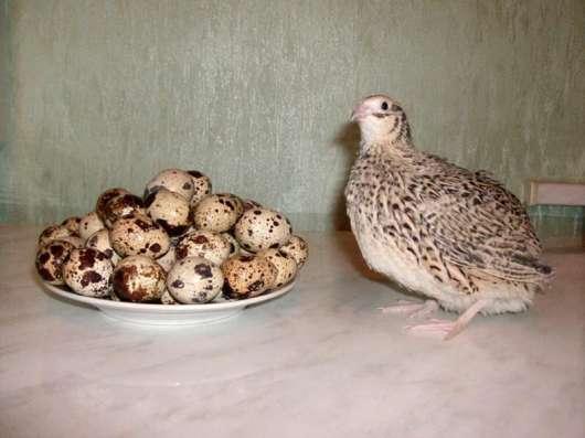 Сбалансированный диетический продукт-перепелиные яйца!