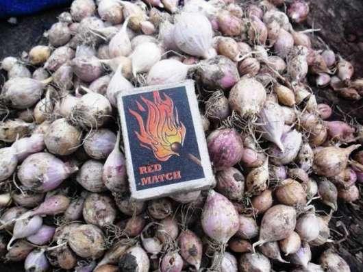 Семена чеснока (однозубка)