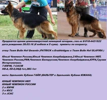 Щенки Немецкой овчарки длинношерстные (РКФ) в Краснодаре Фото 1
