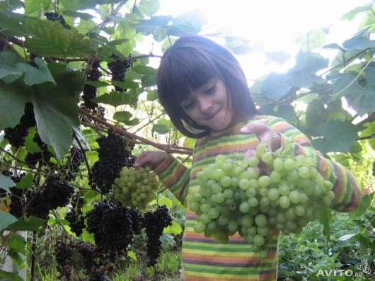 Продаются саженцы винограда в Омске Фото 2