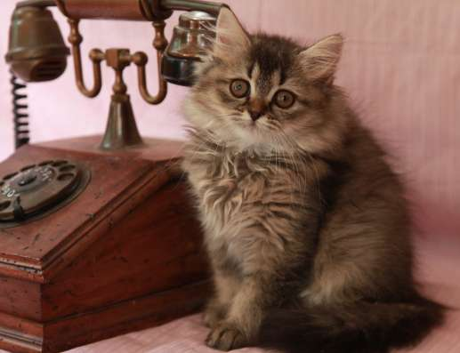 Британские котята уникальных окрасов sunnybunny. by #sb