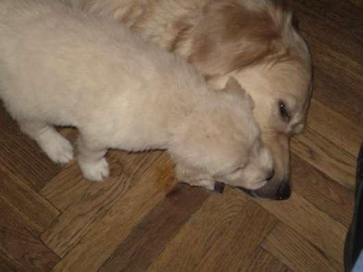 Золотистый (голден)ретривер щенки