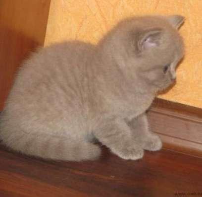 Шотландские котятки в Подольске Фото 1
