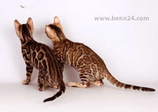 Бенгальские породистые котята