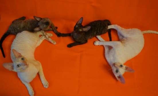 Роскошные котята корниш рекс