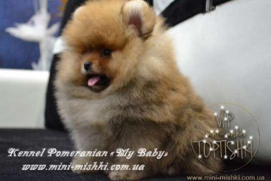 Эксклюзивные щенки карликового померанского шпица Тип-Мишки VIP-Classa!