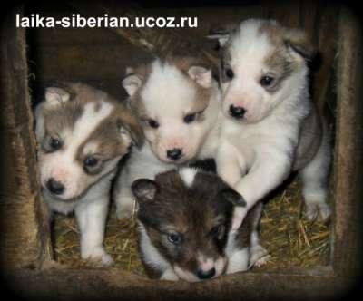 Щенки Западно - сибирской лайки