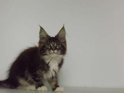 Котята мейн-кун в Новороссийске Фото 5