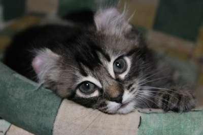 Котята Американский кёрл! в Смоленске Фото 2