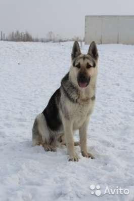 Продам щенков Восточно европейской овчарки в Омске Фото 2