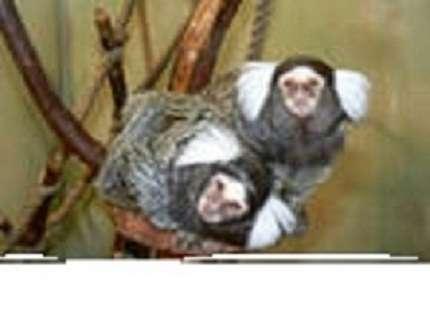 обезьянка белоухая игрунка