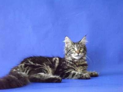 Мейн-кун котята в г. Аксай Фото 4